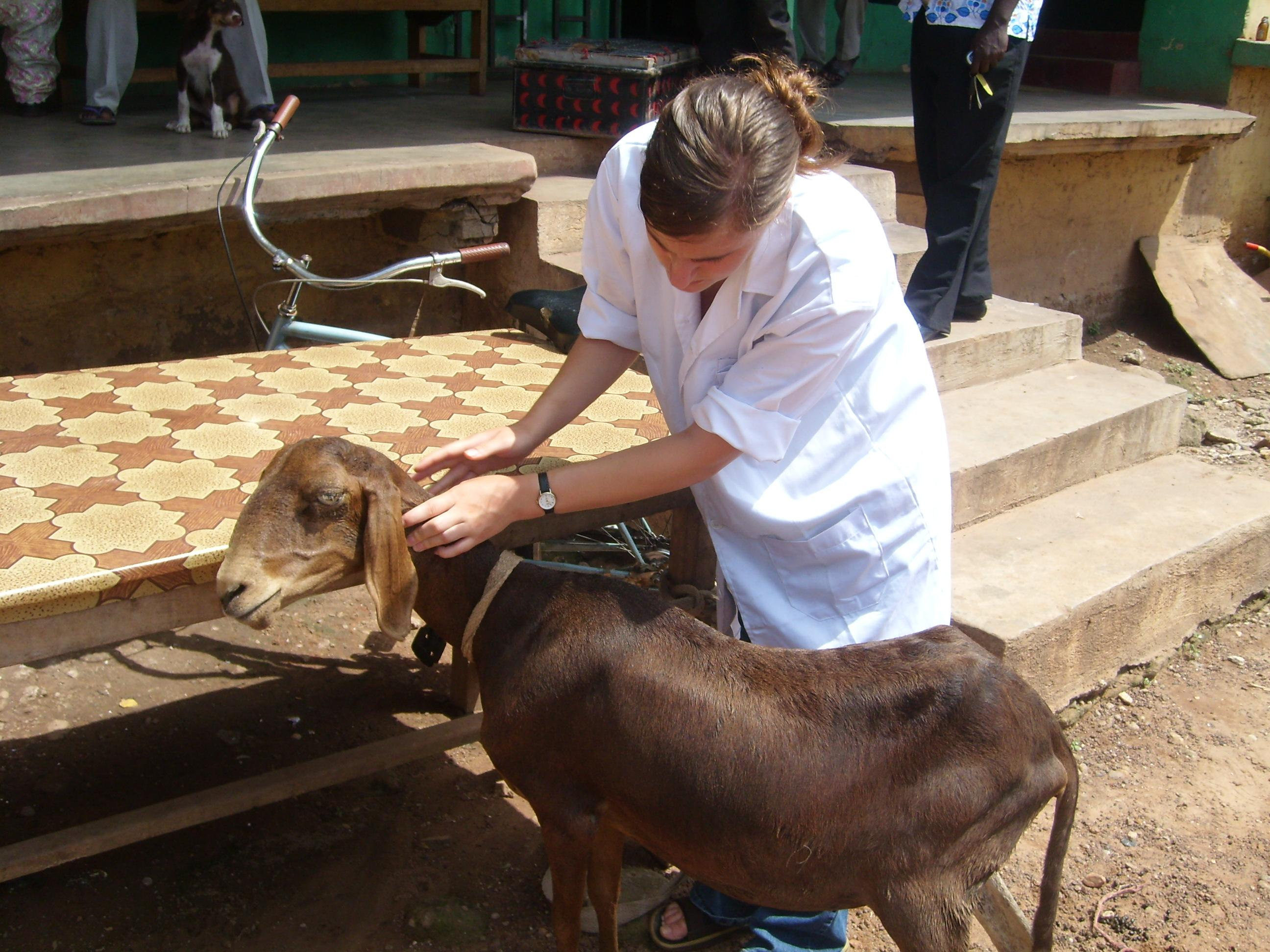 An intern doing a Veterinary Medicine placement in Ghana helps treat a goat in a rural village.